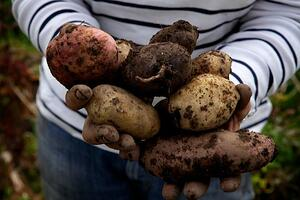 small-Produce - freshly dug potatoes